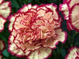 Carnation - flower of January