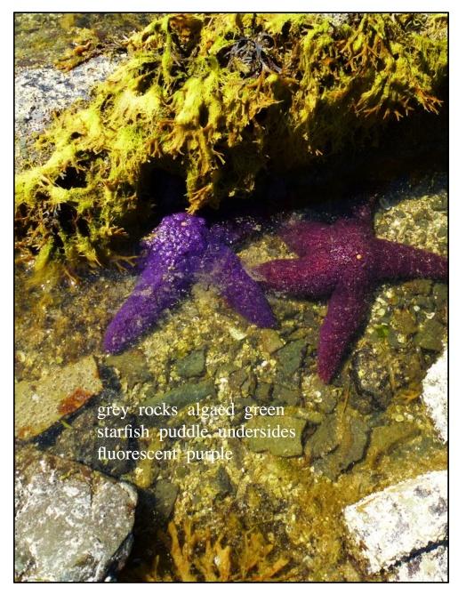 purple starfish