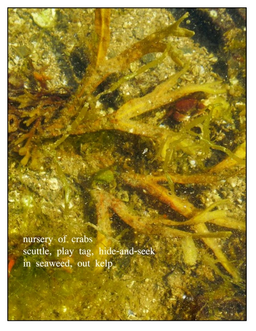 underwater seaweed crabs