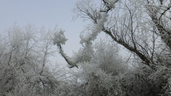Branches in frosty bloom (Photo © 2016 by V. Nesdoly)