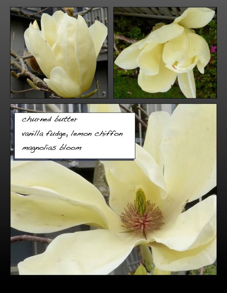 Cream magnolias in bloom