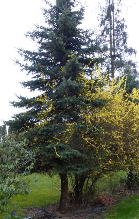 Pine tree and forsythia