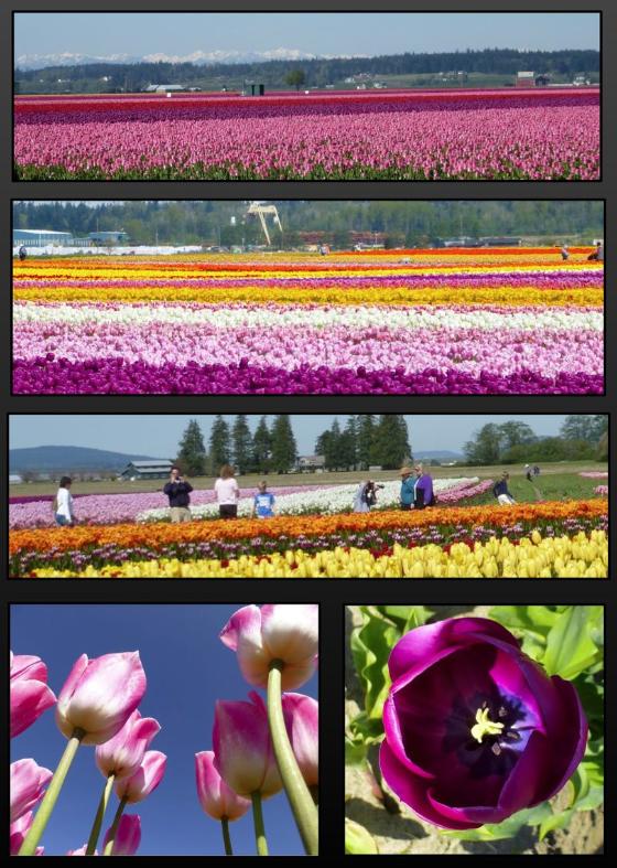 Tulips - La Conner WA