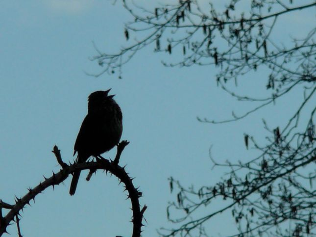 Silhouette of a bird singing