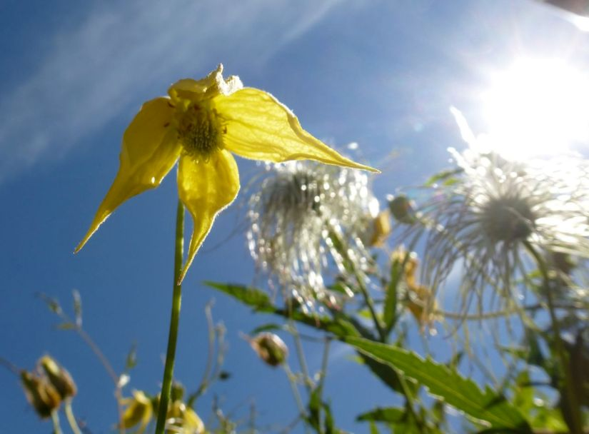 Clematis blossom in sunlight